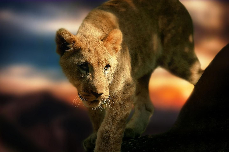 mico_lion